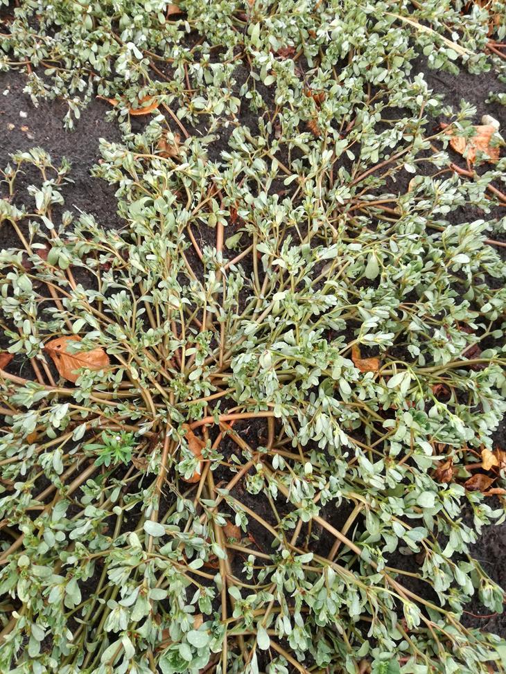 Wilde postelein plant.jpg